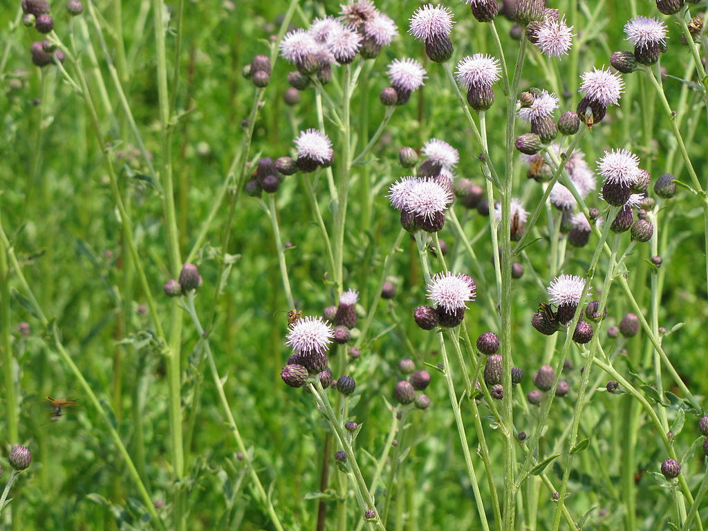 Canada thistle lawn weed