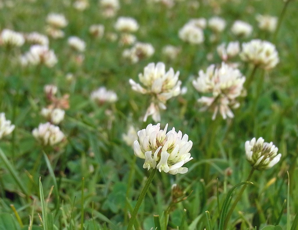 Clover lawn weed