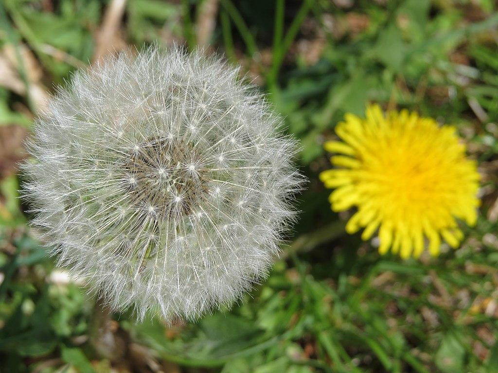 Dandelion lawn weeds
