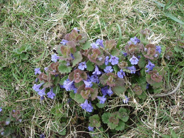 Creeping Charlie/Ground Ivy lawn weed