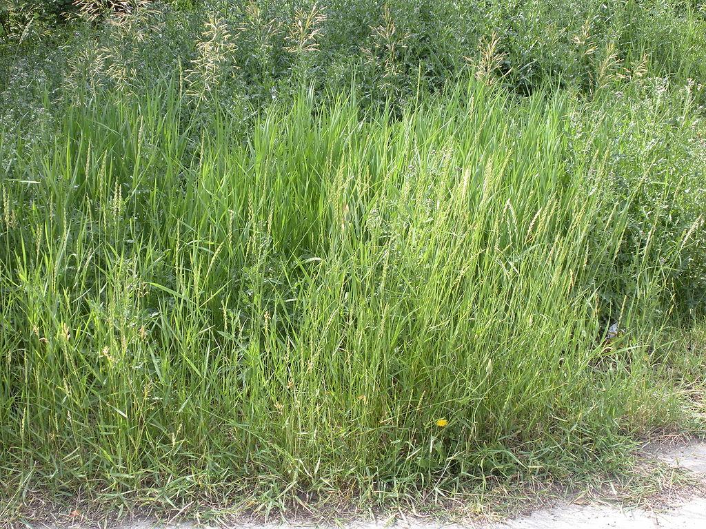 Quackgrass lawn weed