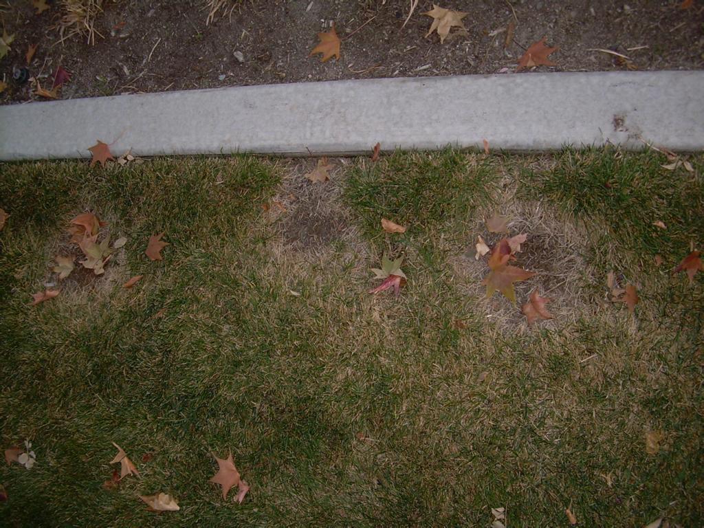 necrotic ring spot lawn fungus