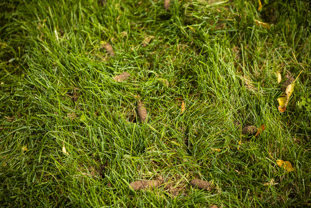 lawn aeration cores in lawn