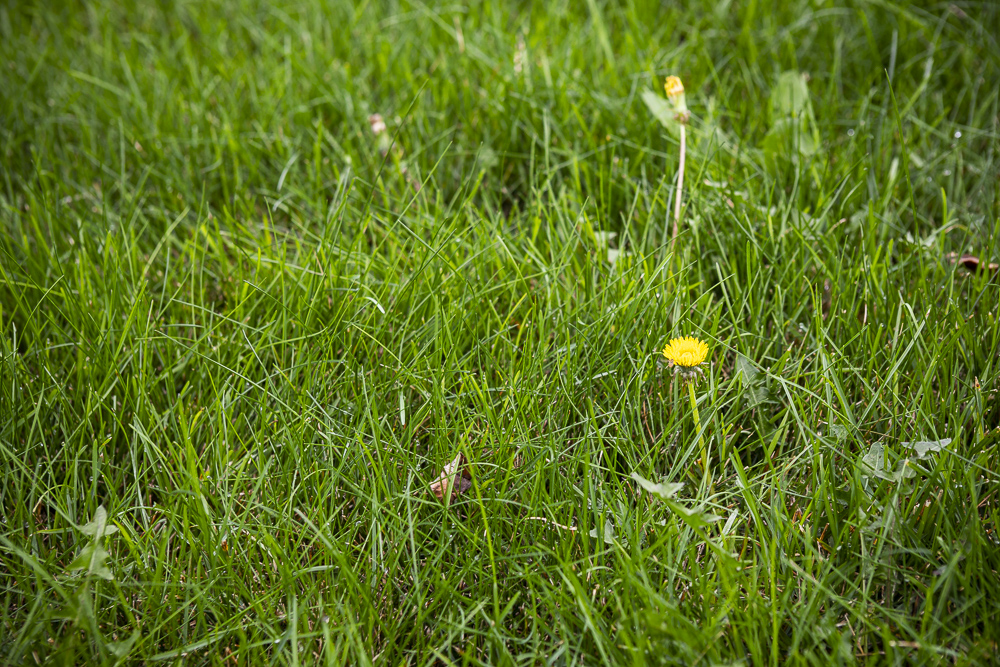 weeds in lawn