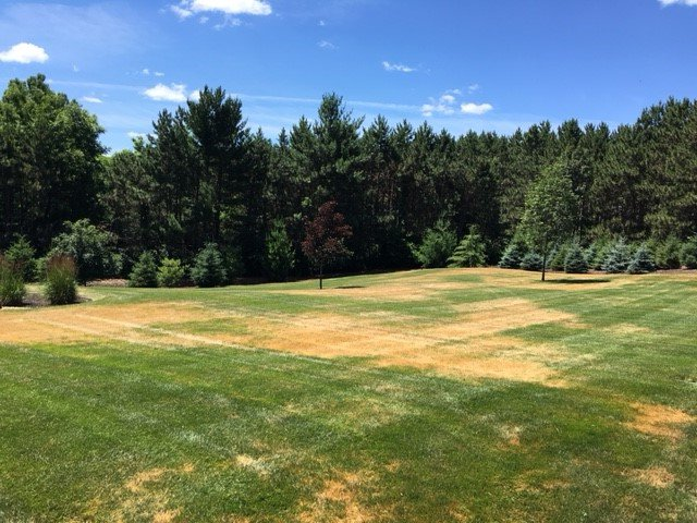 leaf blight disease on grass
