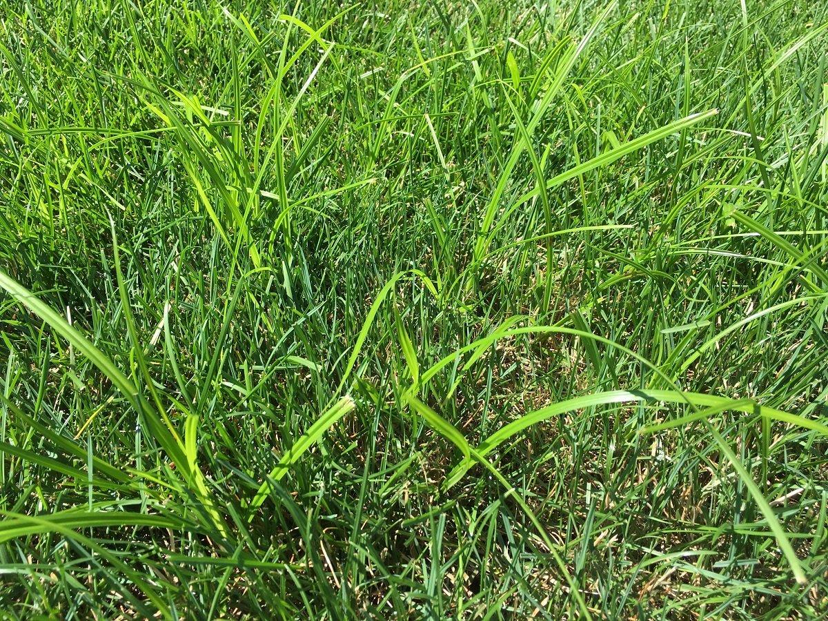 nutsedge in grass